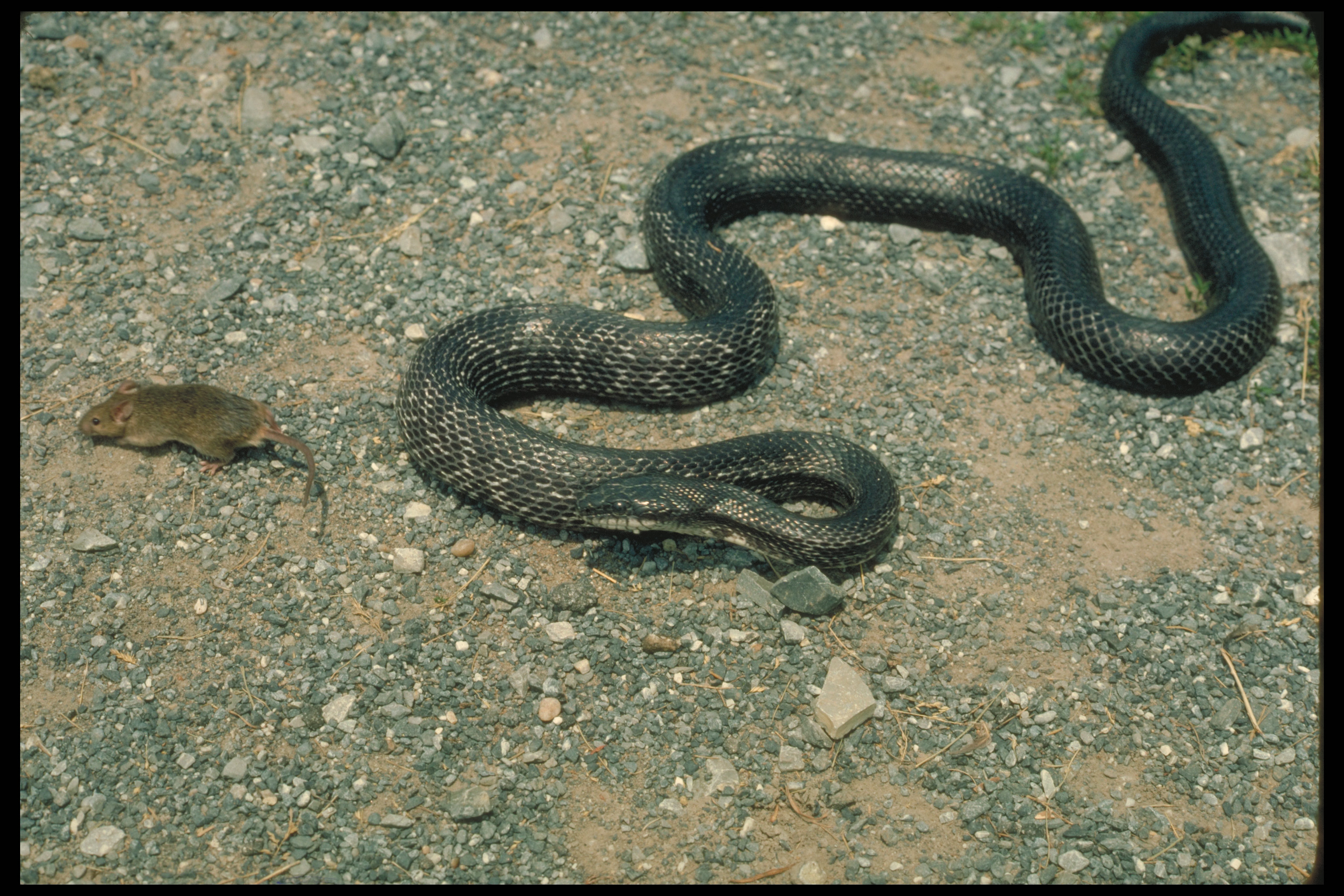 Huge Snakes Eating People The rough green snakes and