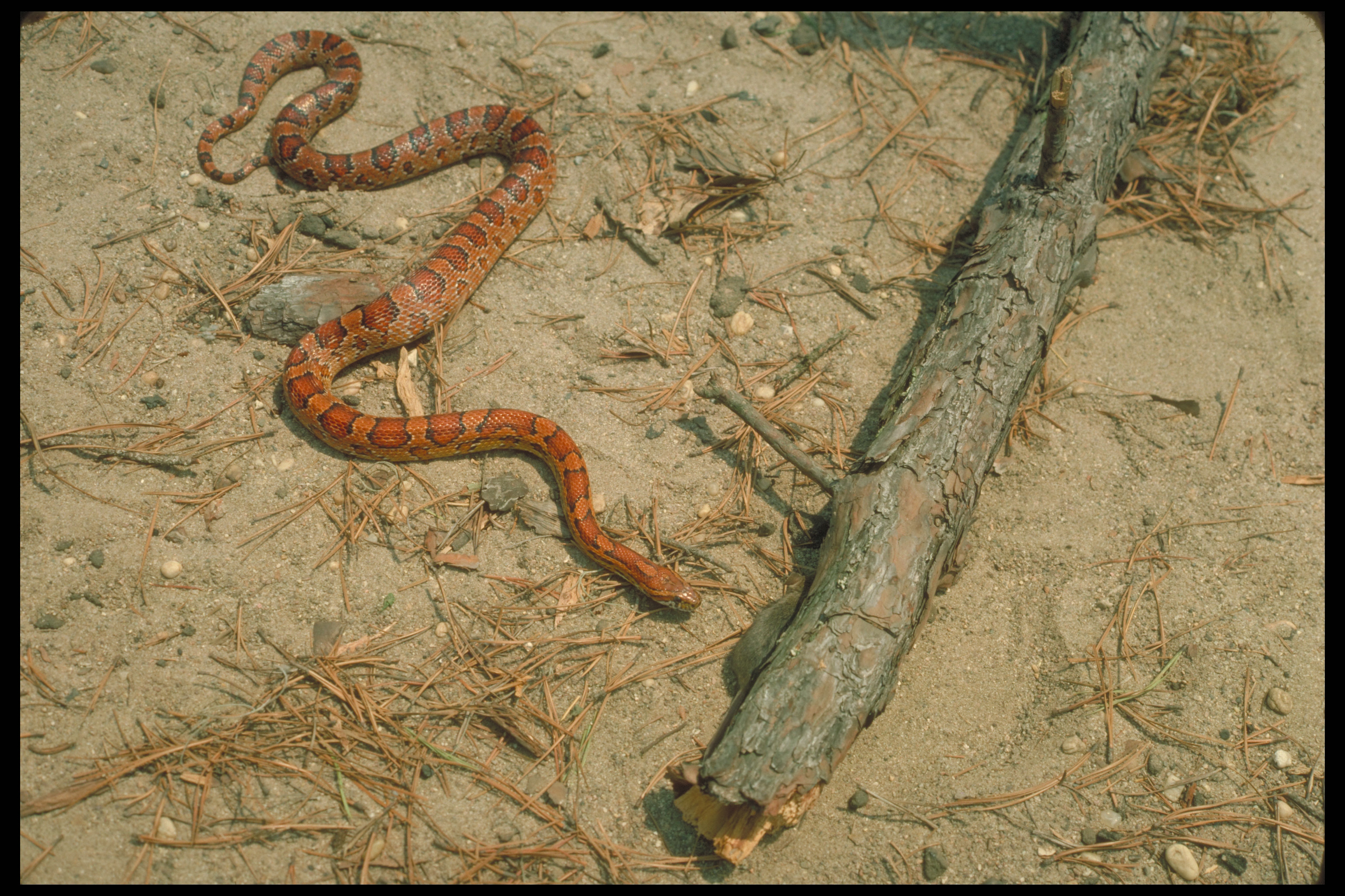 About Corn Snakes, Breeding Corn Snakes